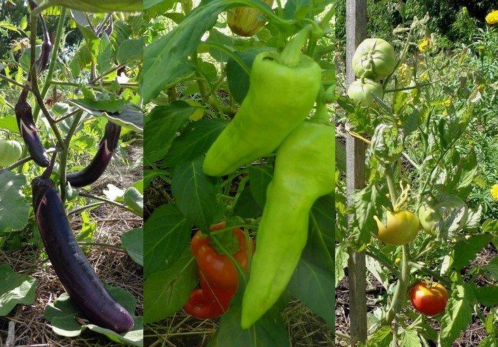 Tomates, aubergines, poivrons... comment les cultiver au naturel ? atelier du mercredi 3 avril 2013 solanacees
