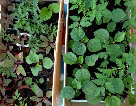 Réussir ses semis, mercredi 26 juin à 15h30 dans le jardin extraBIOrdinaire photo-semis