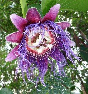 Faites entrer la biodiversité dans votre jardin dans le jardin extraBIOrdinaire fleur-barbadine1-282x300
