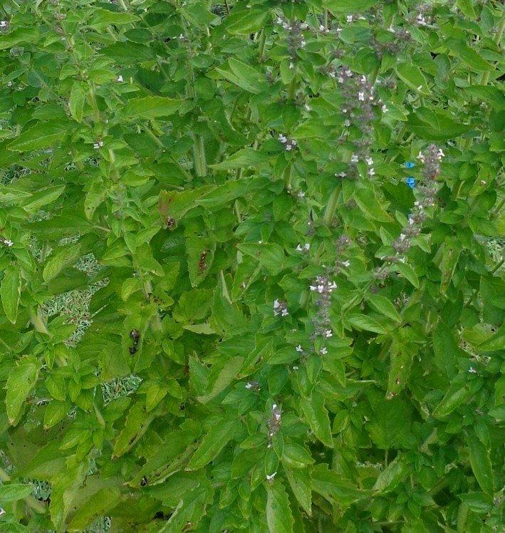 Gwo bonm (Hyptis suaveolens) en fleur