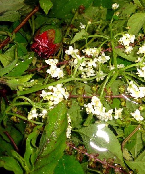 Fleurs de rose cayenne et sureau
